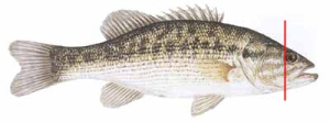 Kentucky Bass